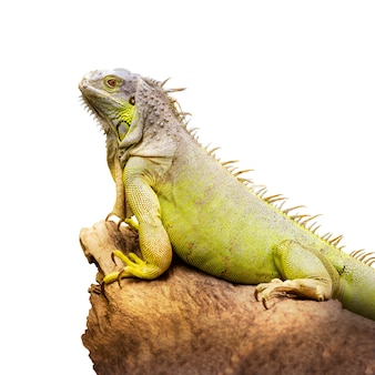 緑のイグアナは、白い背景で隔離の乾燥した木材を保持します