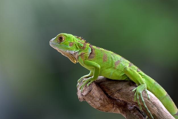 木の枝に緑のイグアナ