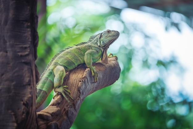 Зеленая игуана отдыхала на глыбе на размытом фоне