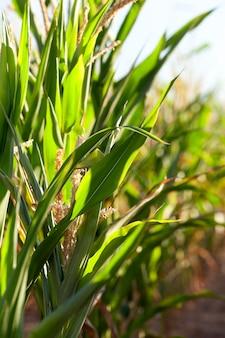 Зеленая незрелая кукуруза - сельскохозяйственное поле, на котором растет зеленая незрелая кукуруза, сельское хозяйство, голубое небо.