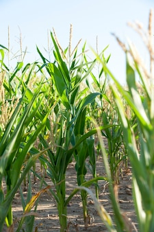 Зеленая незрелая кукуруза - сельскохозяйственное поле, на котором растет зеленая незрелая кукуруза, сельское хозяйство, небо.