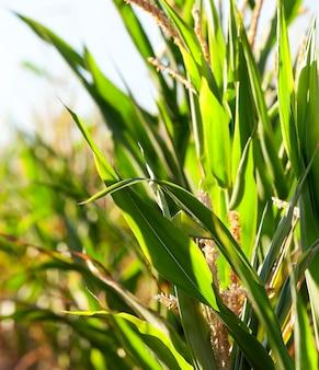 녹색 미숙 한 옥수수