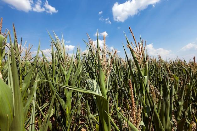 Зеленая незрелая кукуруза