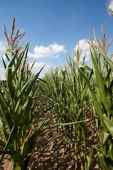 Незрелая незрелая кукуруза