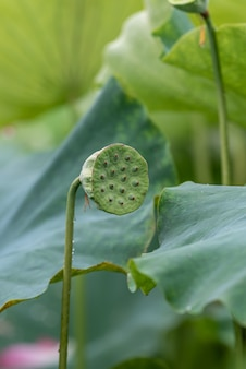 The green immature seedpod of the lotus is on the lotus leaf