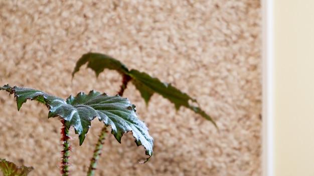 壁の近くの鍋の緑の屋内植物のクローズアップ。植物は空白の壁の近くに葉を残します。