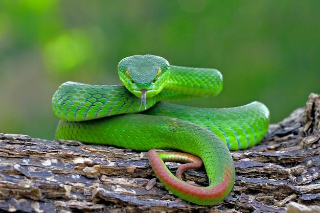 緑の島のマムシ蛇、timreresurus albolabris