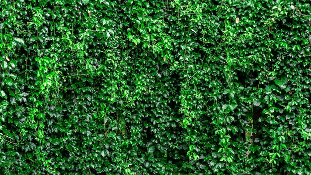 Green ivy climb on the fence wall.
