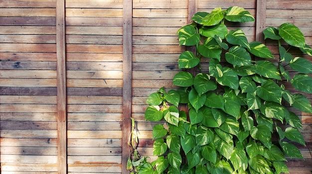 Зеленый плющ и деревянный забор. деревянный фон