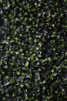 Green ivy grows along the wall. texture of dense thickets of wild vine