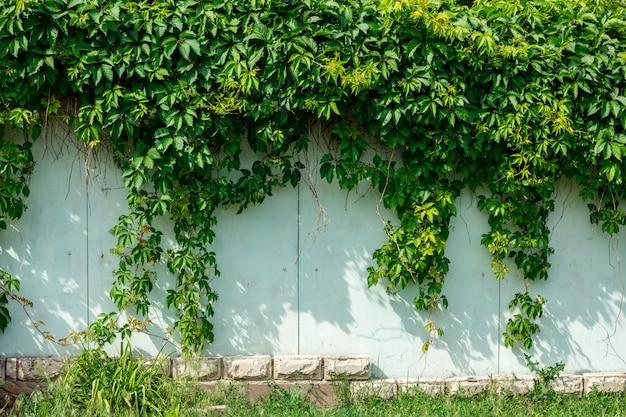 울타리의 벽에 걸려 녹색 아이비.