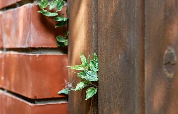 나무로 되는 오래된 정원 울타리에서 돋아난 녹색 담쟁이 잎. 오래된 나무 판자와 붉은 벽돌 벽은 녹색 잎으로 덮여 있습니다. 자연 배경 질감