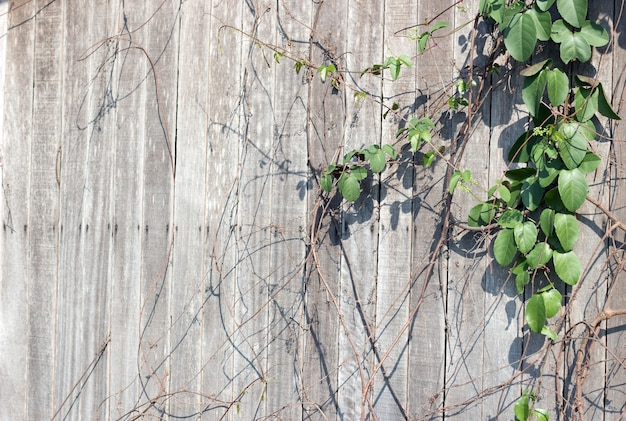 Green ivy on old wood  for background