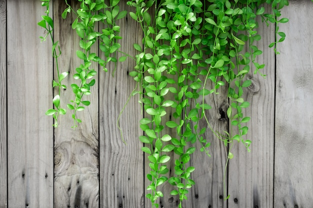 Green ivy on old wood