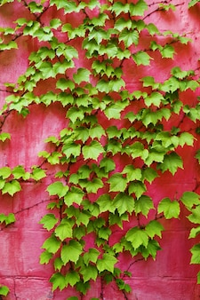 Зеленый плющ на розовой стене