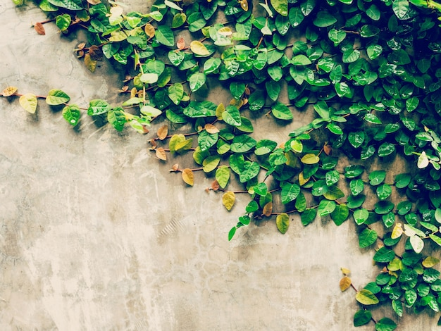 Green ivy plant on cement wall background with space.
