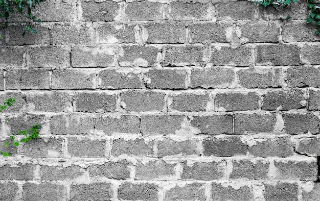 Зеленый плющ растение поднимается на старой белой кирпичной стене