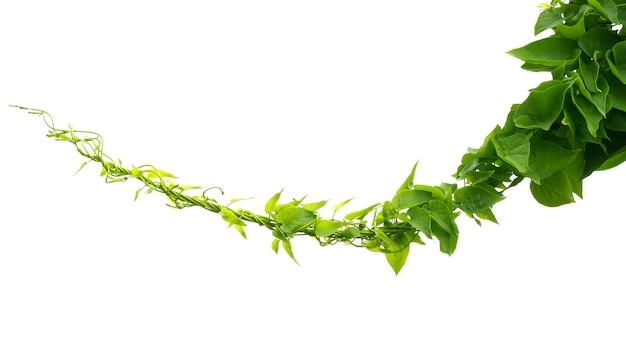 Изолировать зеленый плющ на белом фоне