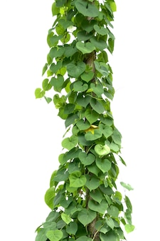 Green ivy plant isolate on white background