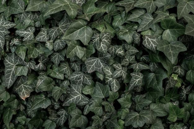 Текстура зеленого плюща