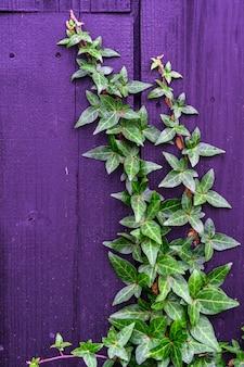 Green ivy on vintage purple wooden texture background