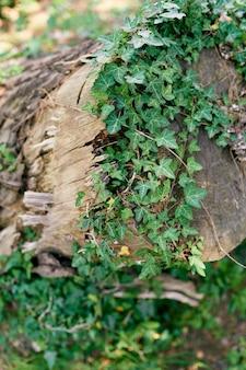 타락한 나무 줄기를 따라 녹색 담쟁이 바람