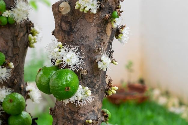 녹색 jaboticabas와 나무에 꽃