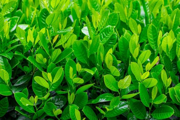 夏には緑のジューシーな葉。
