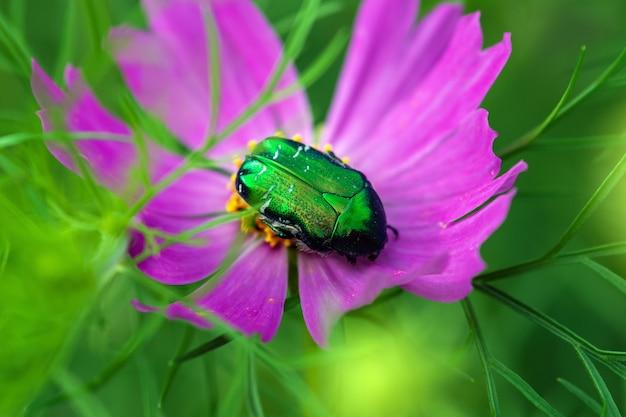 Зеленая июньская ошибка на фиолетовом цветке крупным планом