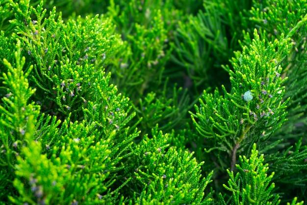 Зеленый крупный план предпосылки можжевельника, свежая зеленая текстура листьев