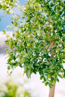 Green kumquat fruit or fortunella on a tree