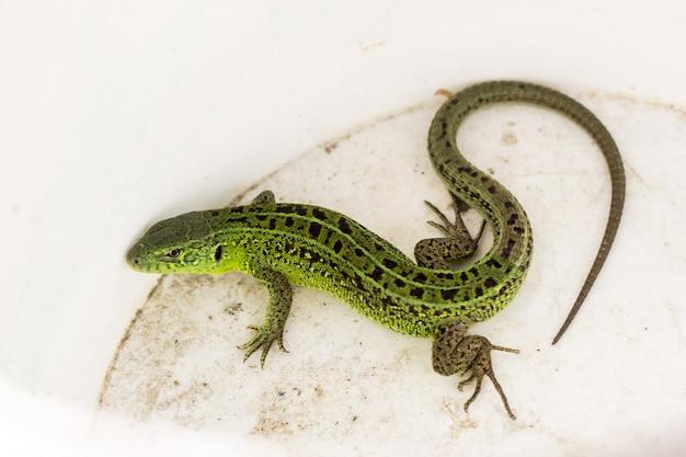 녹색 lacerta viridis, lacerta agilis는 녹색 도마뱀 속의 도마뱀 종입니다.