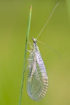 녹색 풀잠자리 (chrysopidae)는 잔디의 녹색 잎에 앉아.