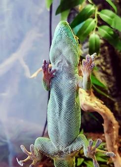 유리에 녹색 큰 도마뱀 거짓말 근접 촬영 모습