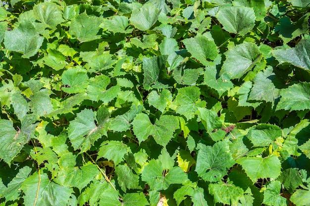 Зеленые большие листья дикого винограда