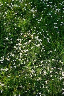 흰색 데이지와 녹색 잔디를 닫습니다.