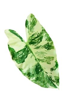 白い背景の上の緑の葉alocasiamacrorrhizos、本物の熱帯ジャングルの葉の植物、alocasiamacrorrhizos