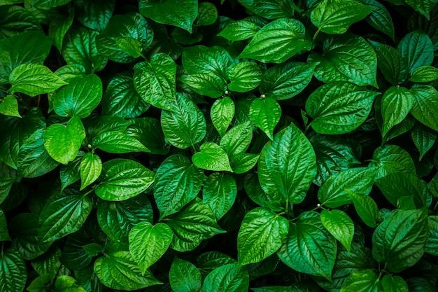 Green leaf background (betel leaf heart shape)