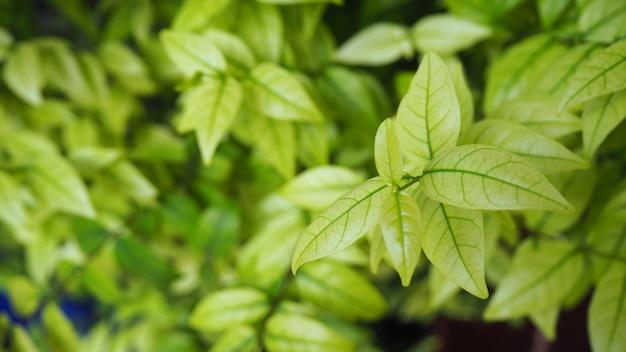 Green leaf background. bush.