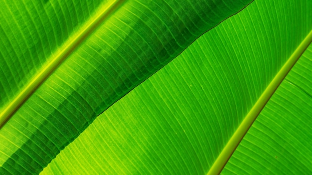 Green leaf banana texture with shadow blurred