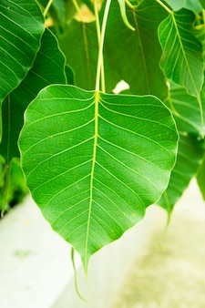 Green leaf bo leaf, sacred fig leaves.