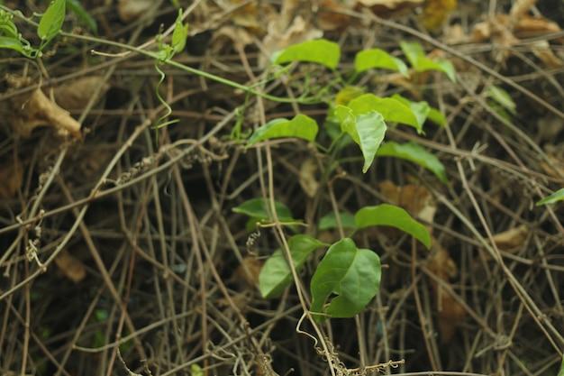 Green leaf in brown dead stalks
