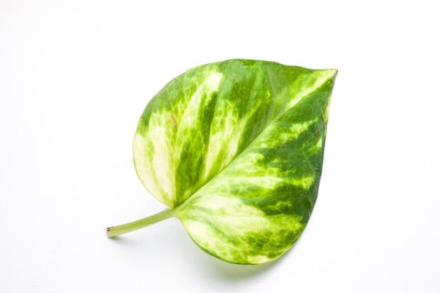 Green leaf closeup on white background