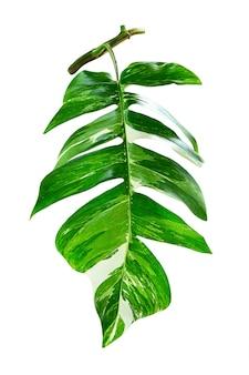 白い背景の上の緑の葉epipremnumpinnatum、本物の熱帯ジャングルの葉の植物、斑入りの植物。