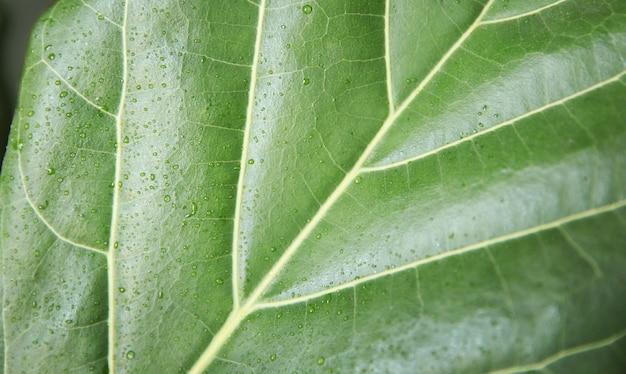 Зеленый лист фикуса лирата с каплями воды. вид сверху, крупный план. домашнее озеленение.