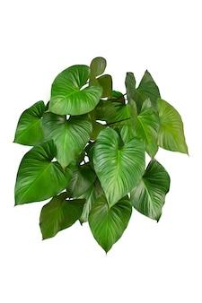 緑の葉homalomenarubescens(king of hearts)白い背景、本物の熱帯ジャングルの葉の植物。