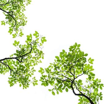 白い表面に分離された緑の葉