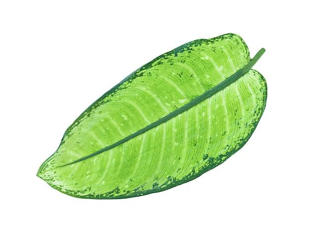 白に分離された緑の葉
