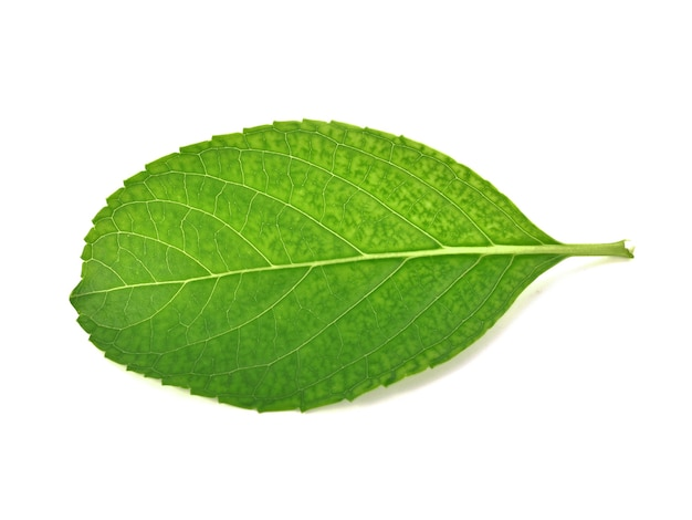 Green leaf isolated white background