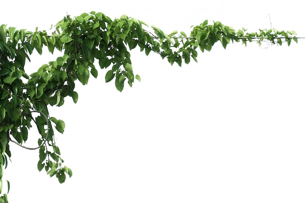 녹색 잎 담 쟁이 식물 화이트에 격리